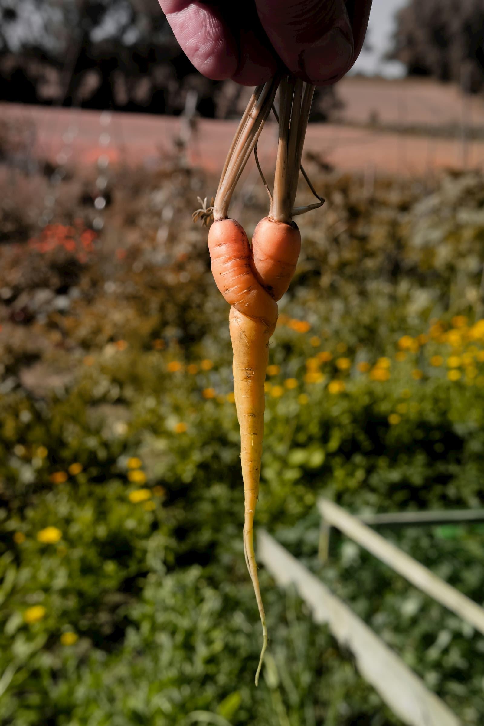 Frisch geerntete Karotte
