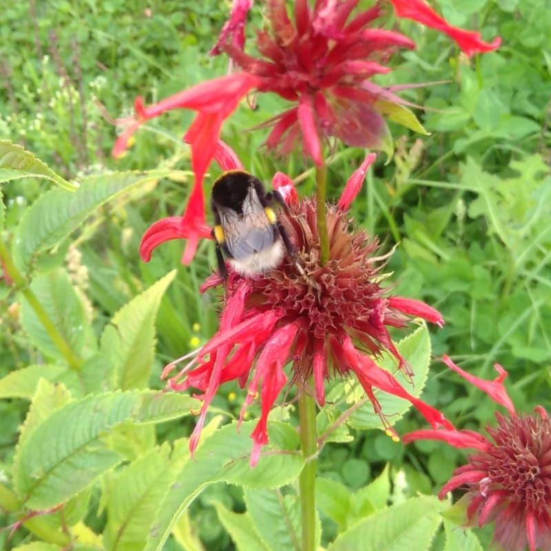 Eine Hummel bestäubt eine rote Blüte
