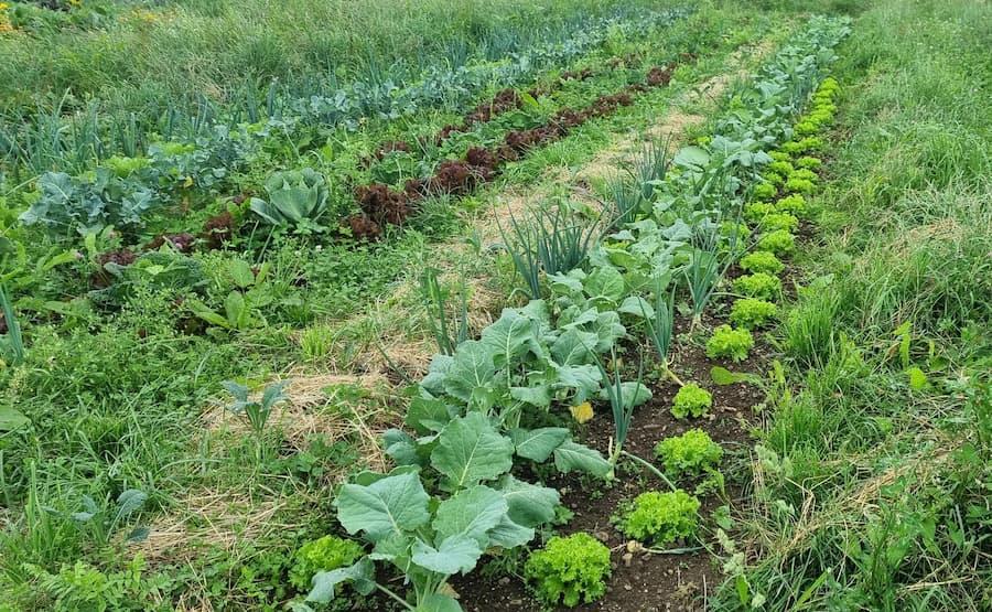 Gemüsereihen auf dem Außenfeld