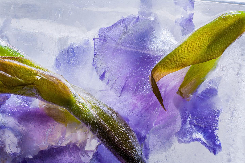 Gladiola. Violet.