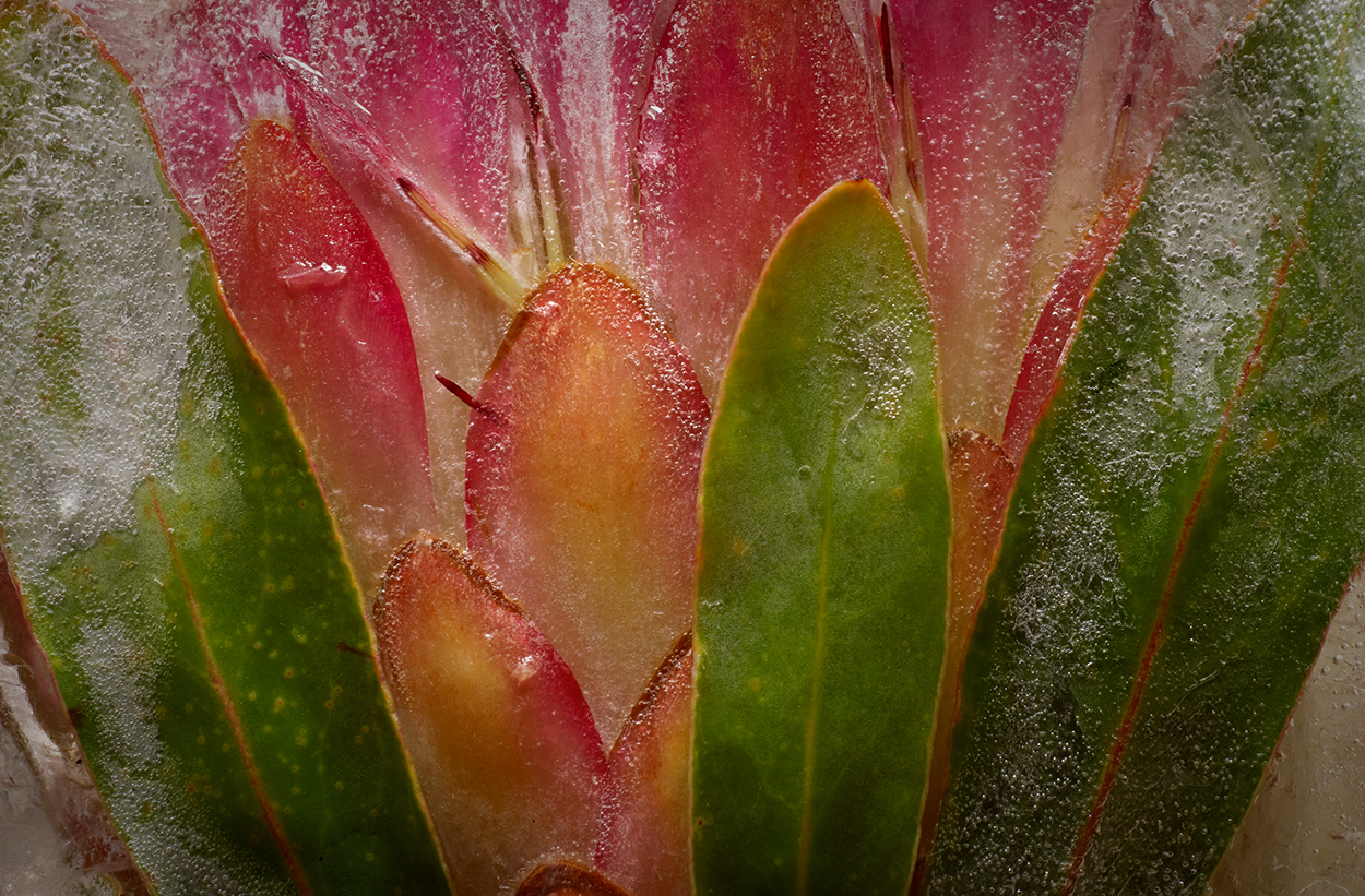 Tropical Flower. Protea.