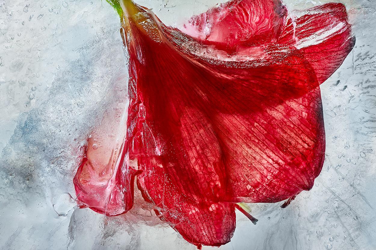 Hibiscus Flower.