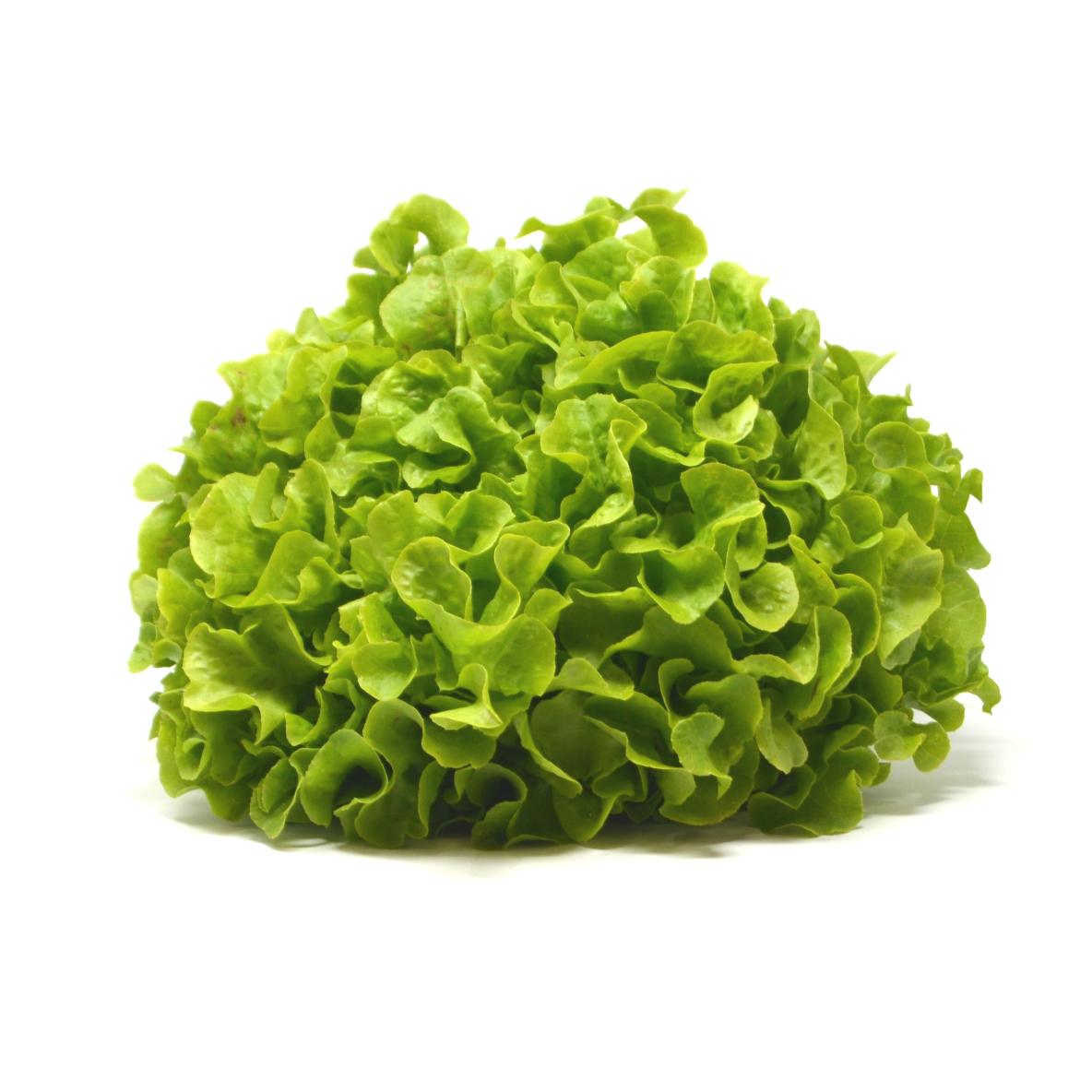 Salade feuille chêne verte