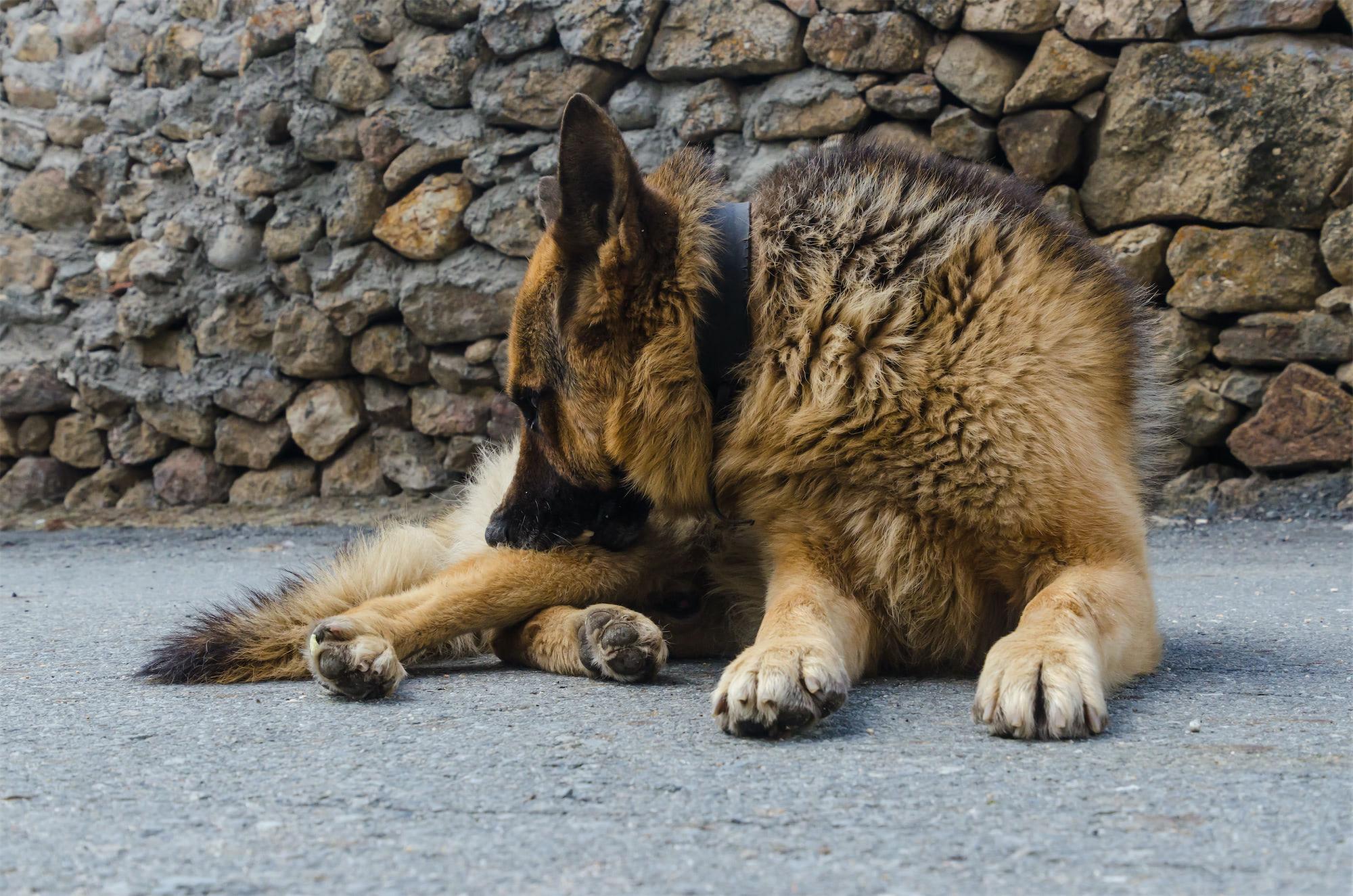German shepherd biting for ticks and fleas