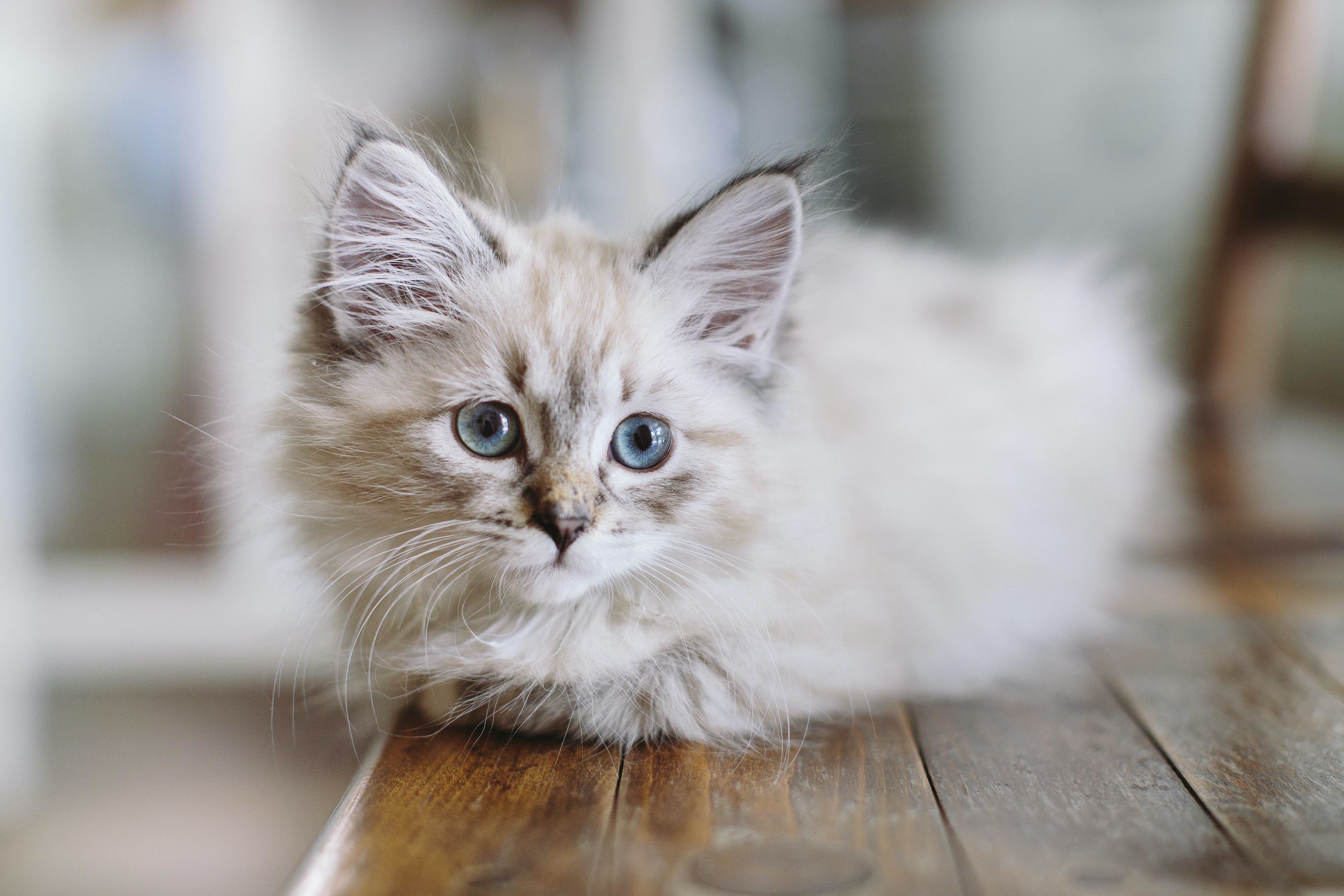 white kitten with blue eyes sitting on a hardwood floor looking away from the camera