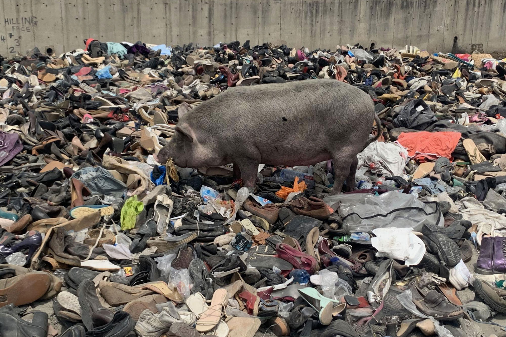 A pig eating fashion waste