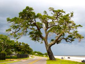 Oak Tree in Long Beach, Mississippi