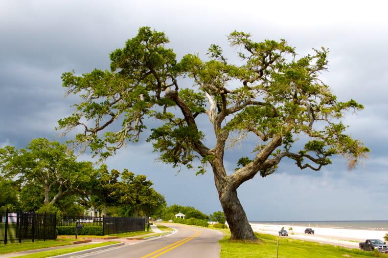 A beautiful tree near The Inn at Long Beach, MS
