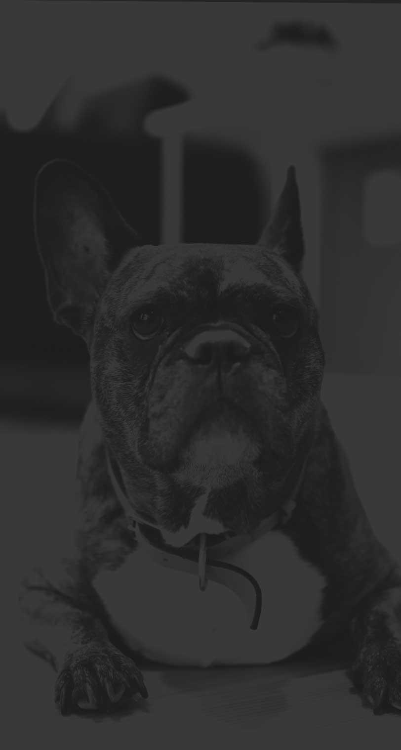 Photo of Dr. Deliz's french bulldog