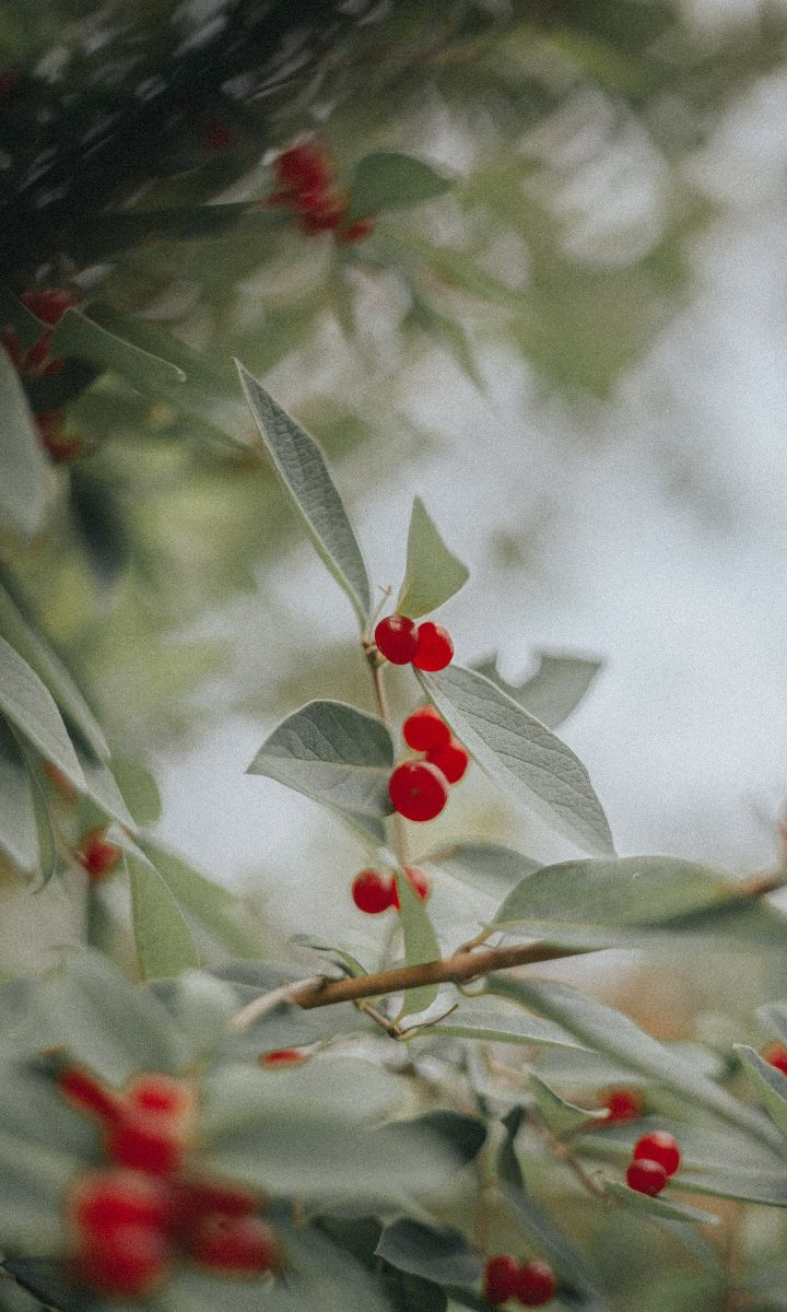 holly berry plants