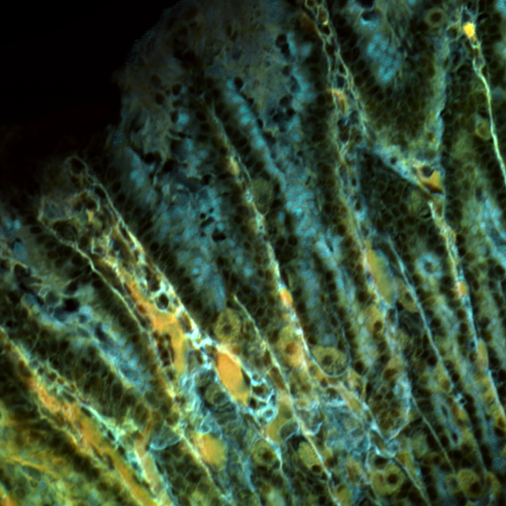 Stitched image of stained stomach tissue cryosection, 16x, NA 0.9