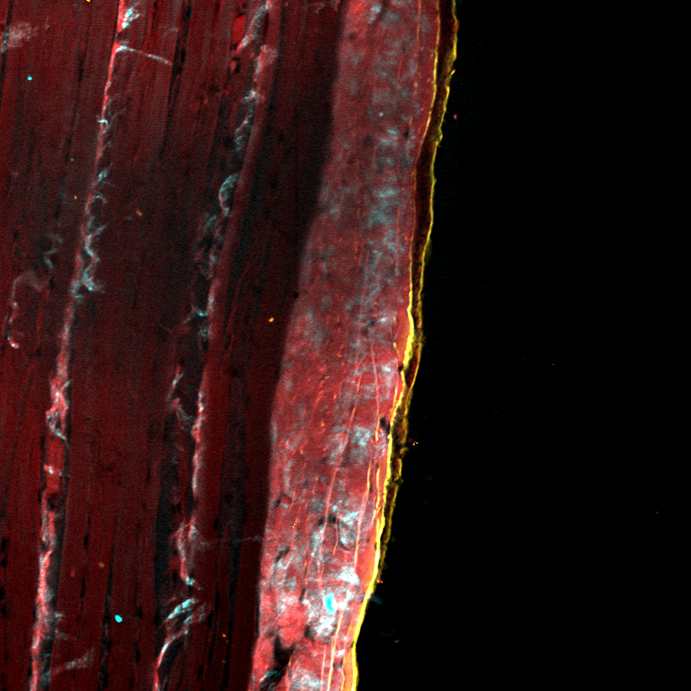 Stitched image of stained muscular tissue cryosection, 16x, NA 0.9