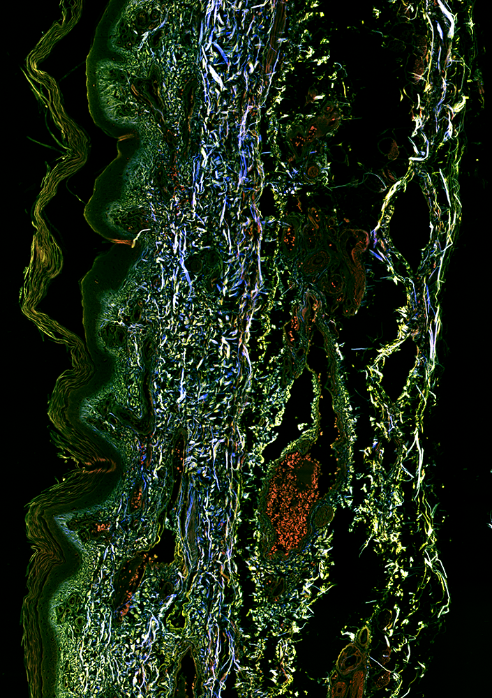 Stitched image of unstained healthy human skin, 16x, NA 0.8, 5100 x 7300  µm, SHG-520 (blue), 2P-542 (green) and 2P-595 (red)