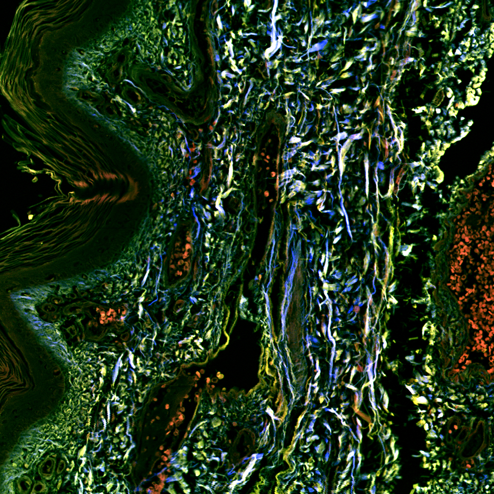 Stitched image of unstained healthy human skin cryosection, NA 0.8, 2500 µm, SHG-520 (blue), 2P-542 (green) and 2P-595 (red)