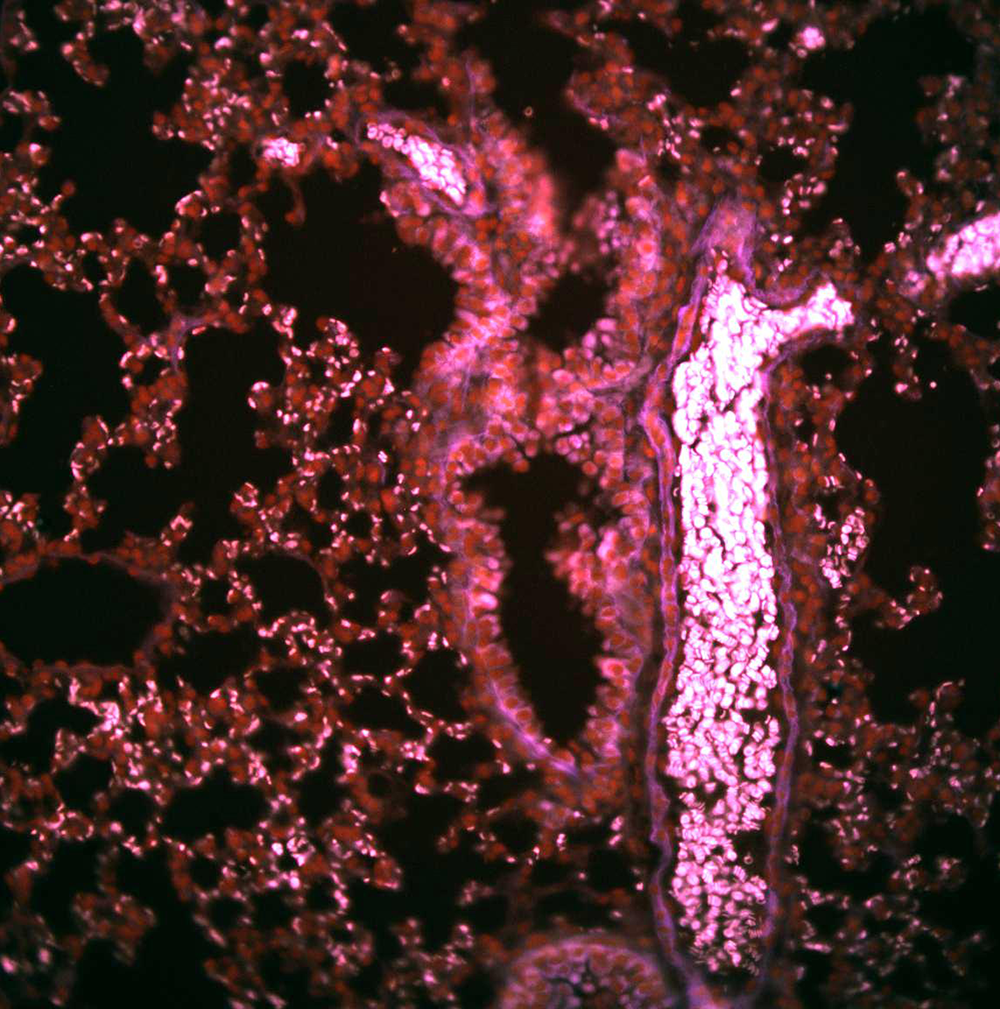 Stitched image of a healthy mouse lung, 16 x 0.8 NA
