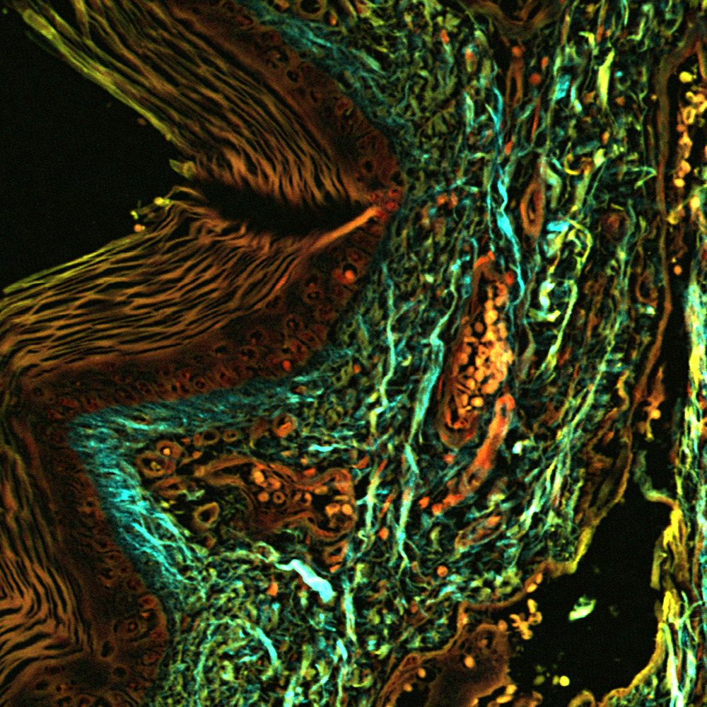 Stitched image of unstained human skin cryosection, 16x, NA-0.8, 300 µm