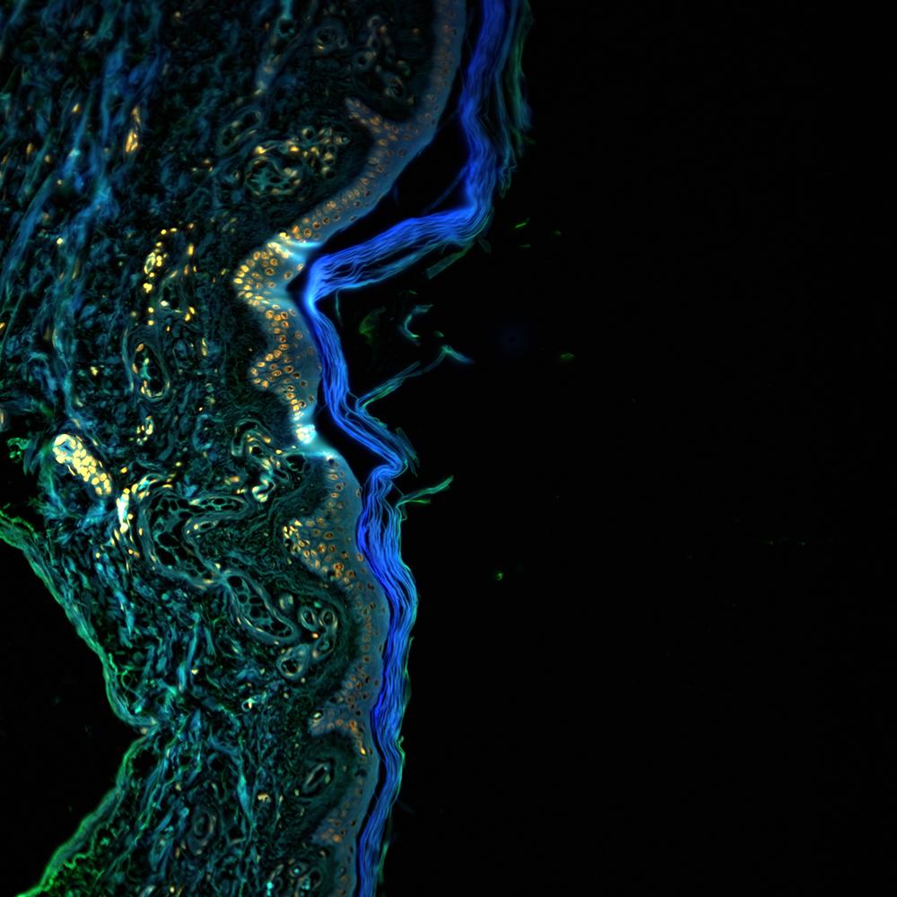 Stitched image of healthy human skin, 16x, NA 0.8 (SHG)