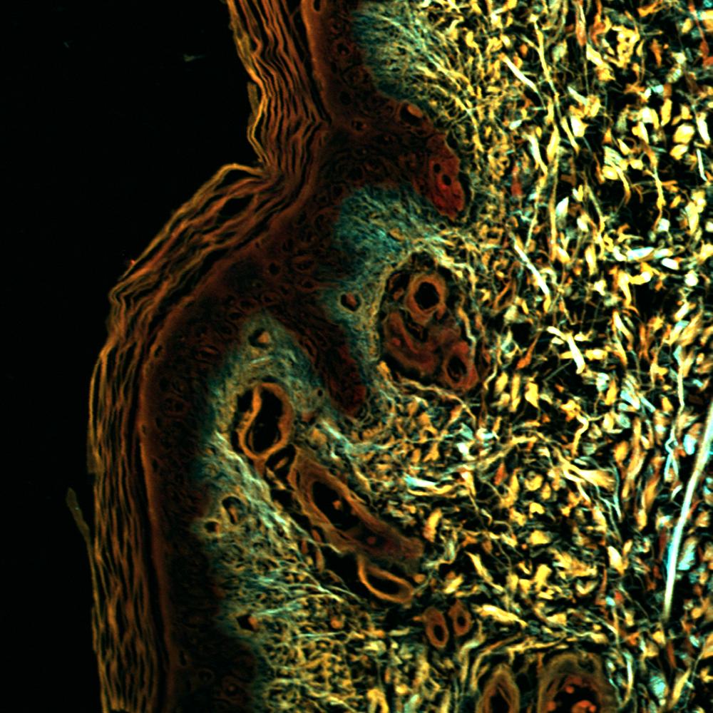 Stitched image of healthy human skin, 16x, NA 0.8, 300 µm