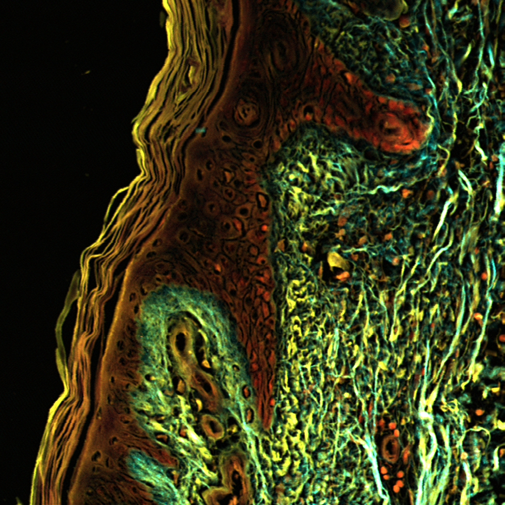 Stitched image of unstained human skin, 16x, NA 0.8, 300 µm
