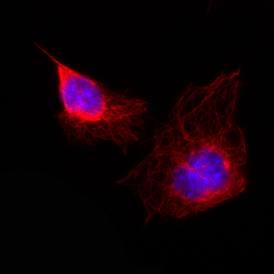 Stained mouse fibroblasts (single-photon setup; 60x, 0.8 NA, FOV 90 µm) – 432 nm (blue) and 681 nm (red). DAPI stained cell nucleus; HiLyte647 stained microtubuli