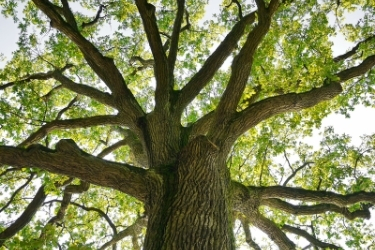 Friendship Oak more 500 years
