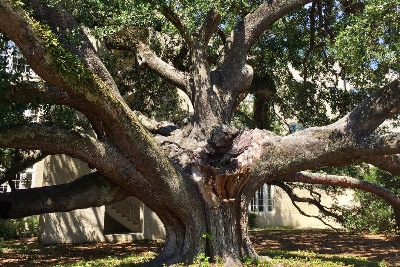 Closeup view of Friendship Oak