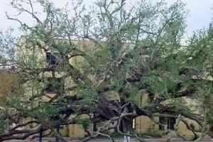 Friendship Oak after the hurricane
