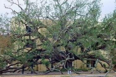 Friendship Oak