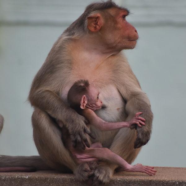 Beautiful indian Rhesus Macaque Mother Monkey Feeding her Baby