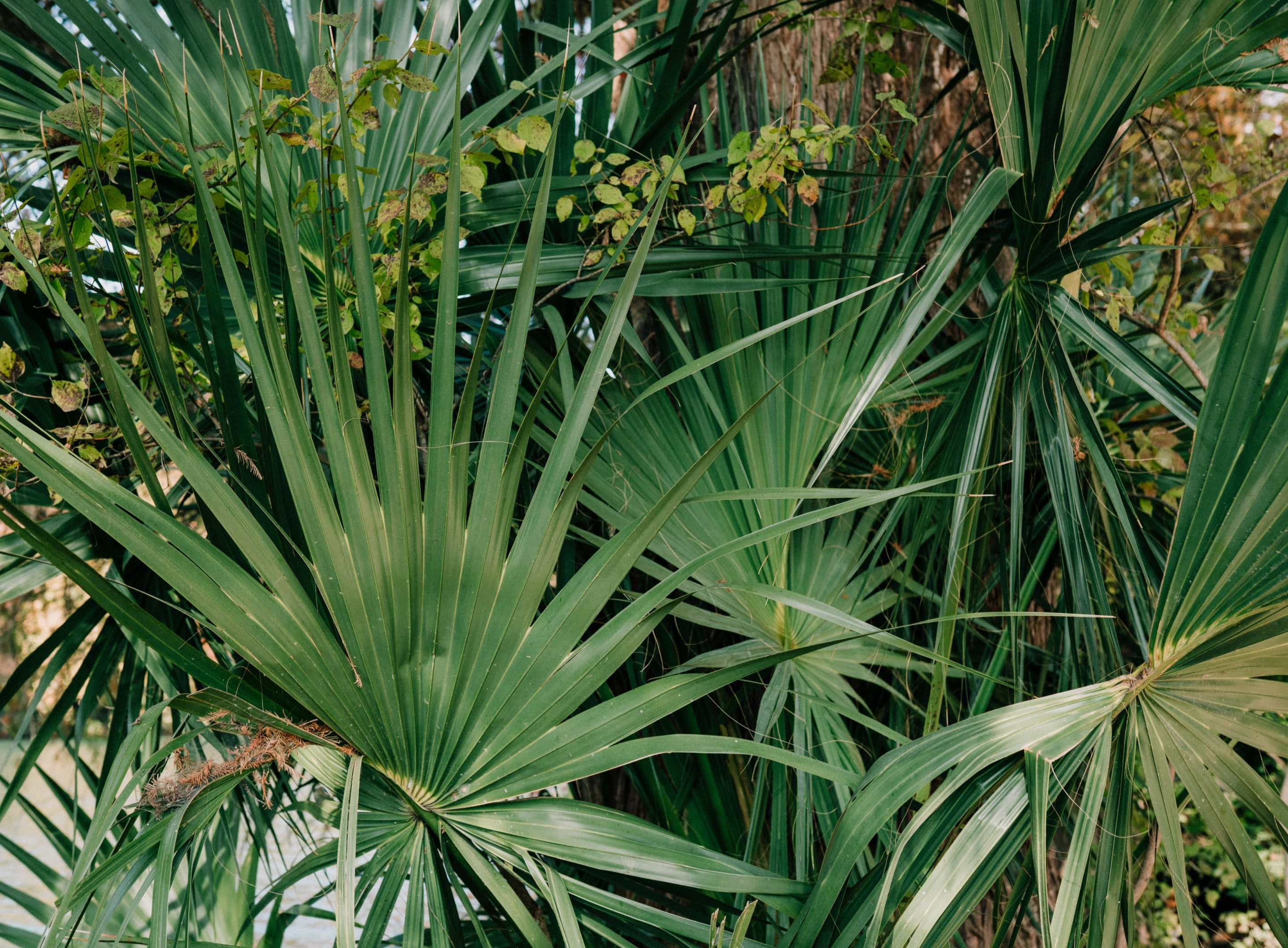 Close up of large, green fan palm fronds