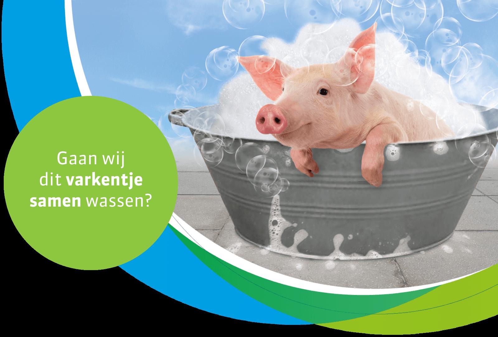 A pig in a tub