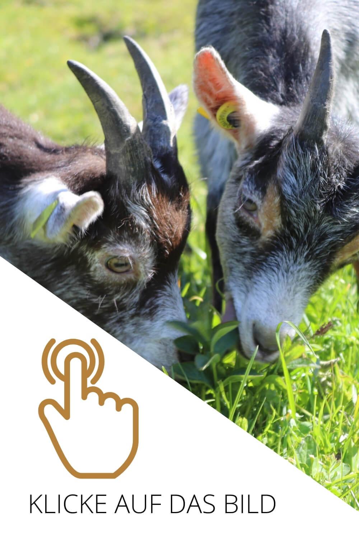 Südtirol, Taufers im Münstertal, Bergbauernhof, Bauernhof, Tiere auf dem Bauernhof, Urlaub auf dem Bauernhof, Ziegen, Babyziegen, Stall, Ziegenkäserei, hofeigene Ziegenkäserei, Bergbauernmilch