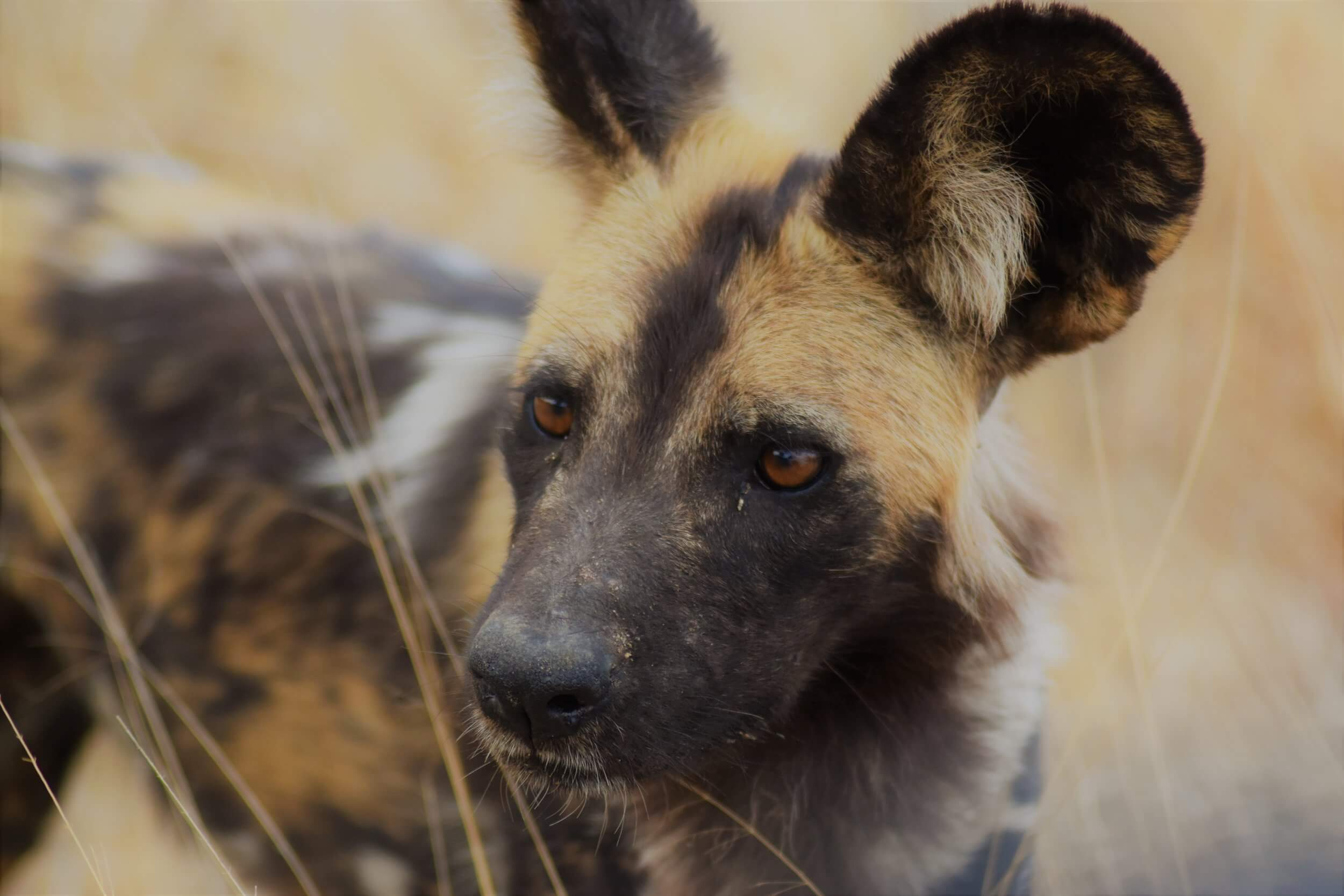 The Wild Dogs of Africa
