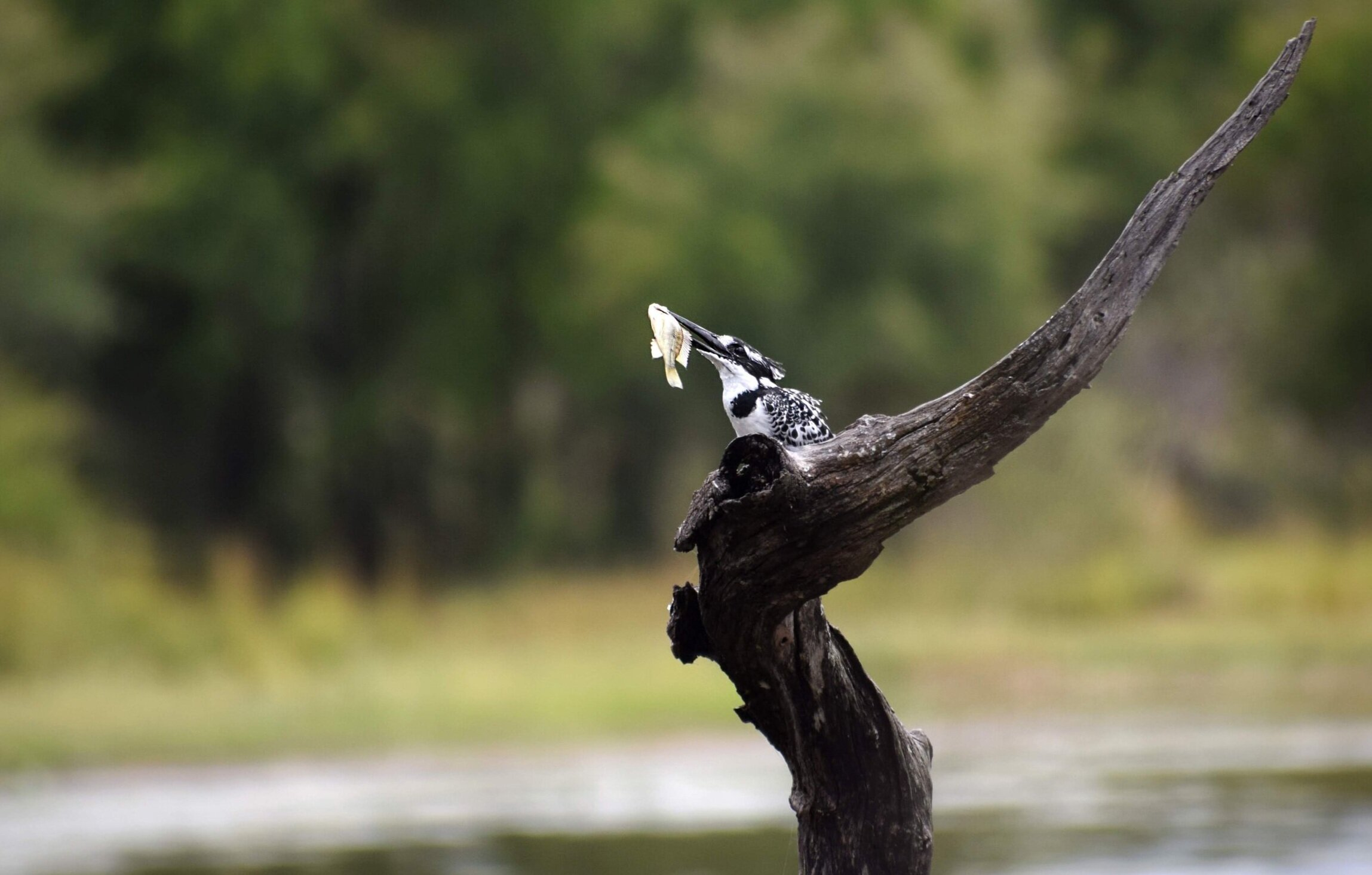 A pied kingfisher at The Last Word Kitara