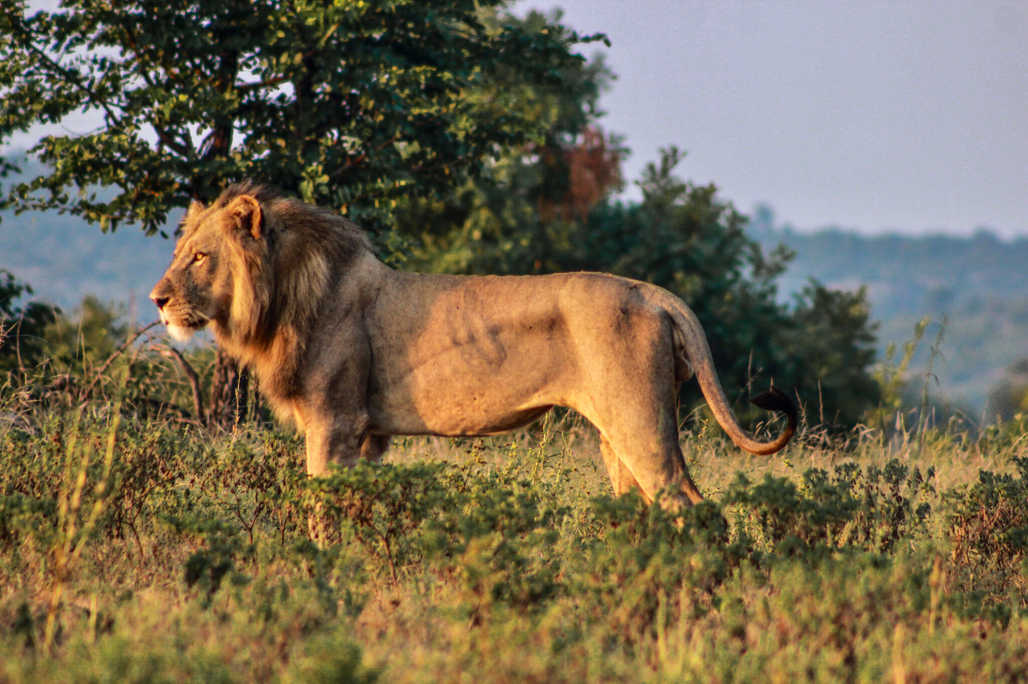 lion at The Last Word Kitara