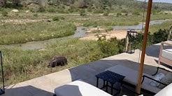 Hippopotamus grazing at Last Word Kitara