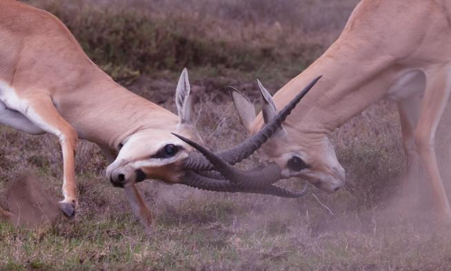 zwei gazellen geraten in konflikt