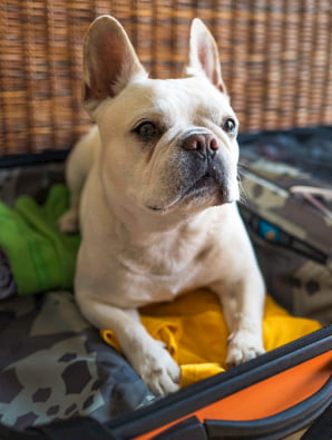 French Bulldog inside a suitcase
