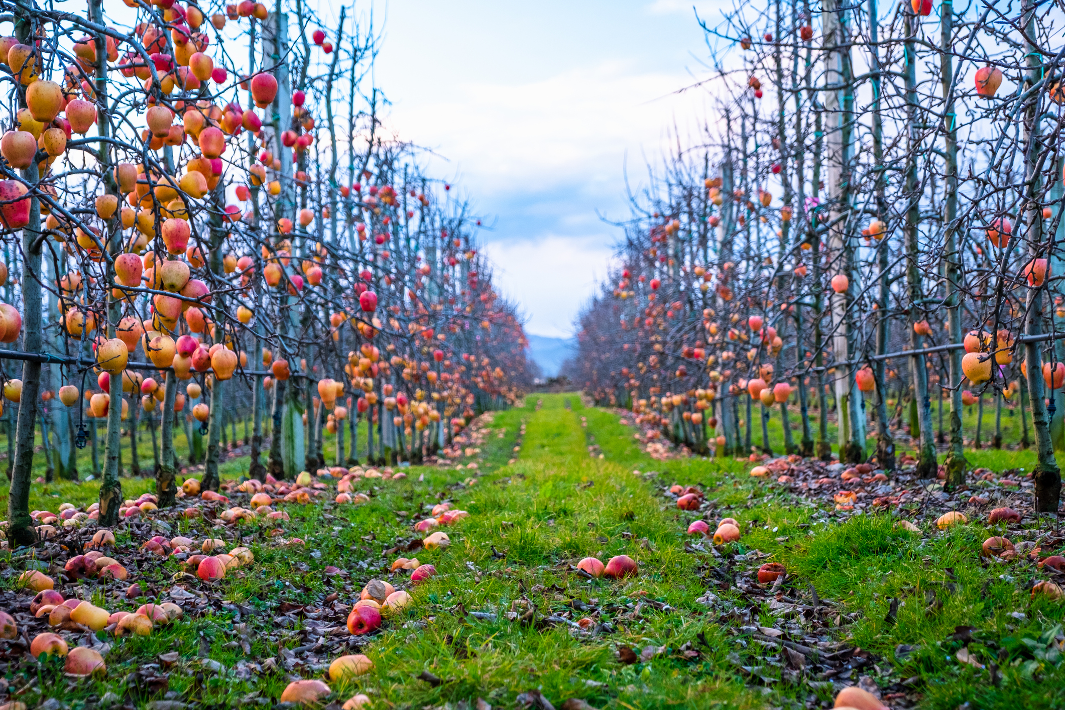 Orchard with apples on the ground showing a slipping hazard