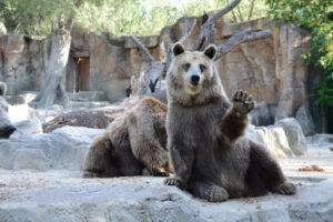 Wild bear in the zoo