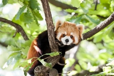 Red Panda on top of a tree