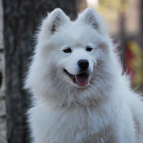 Hvit Samojed hund