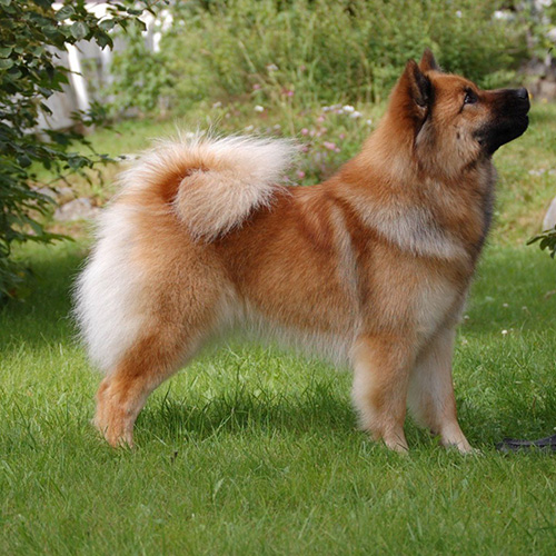 Nydelig Eurasier hund