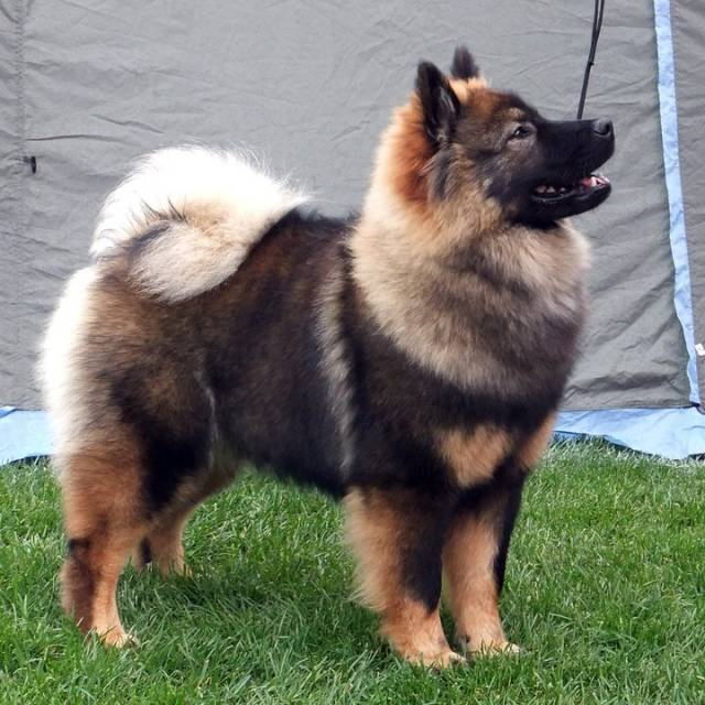 En stående Eurasier hund