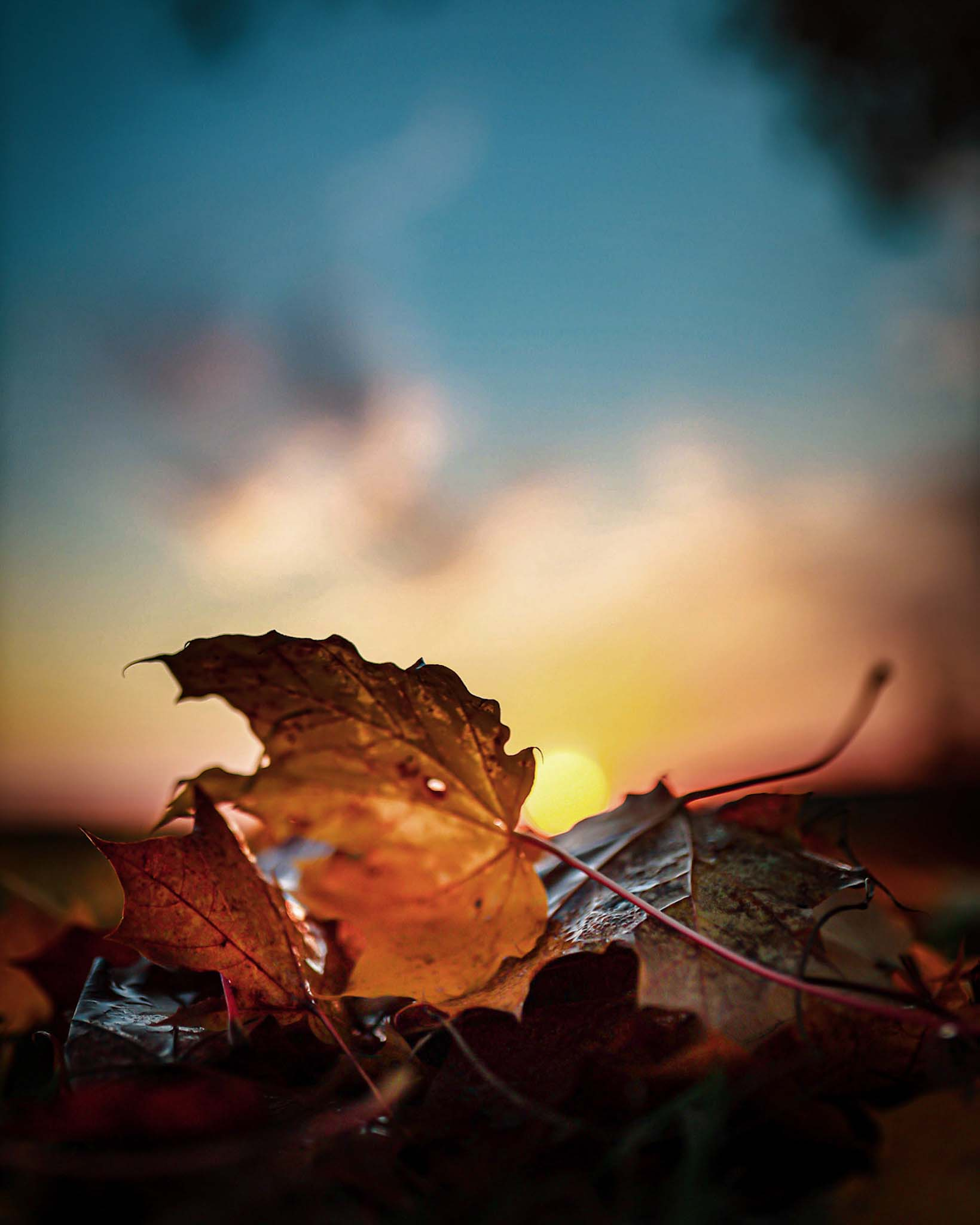 lönnlöv på hösten i soluppgången