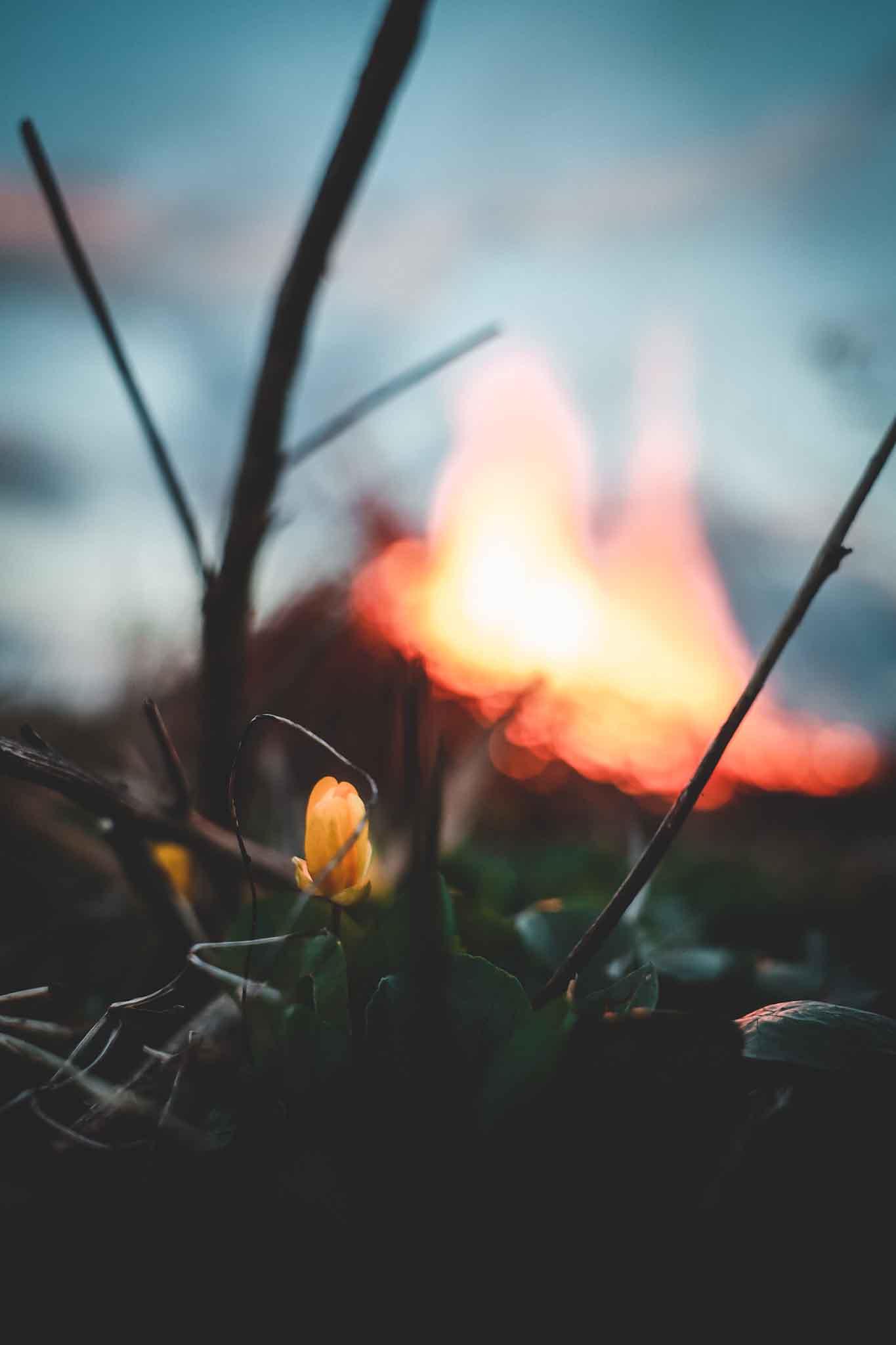 valborg eld vårbloma