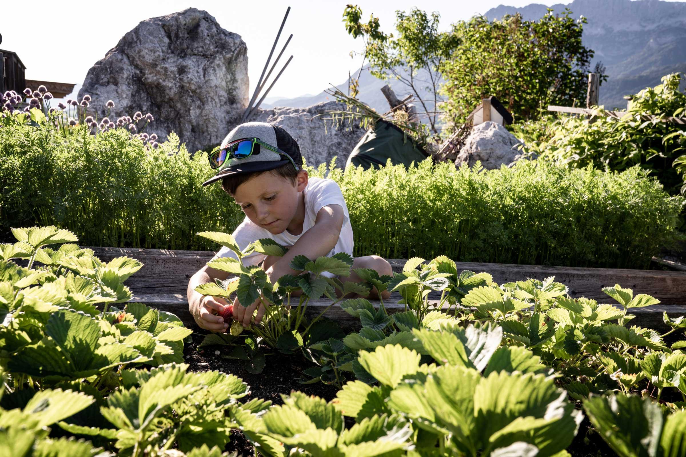 Ein Junge pflückt Erdbeeren im Garten des Naschberghofes.