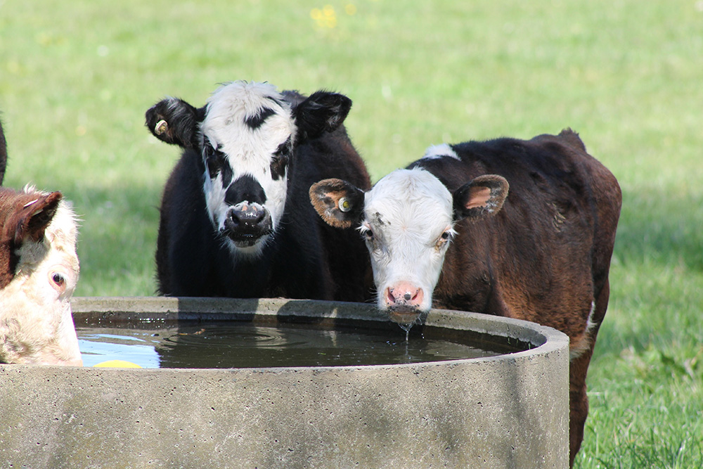 Cows drinking on a water bore