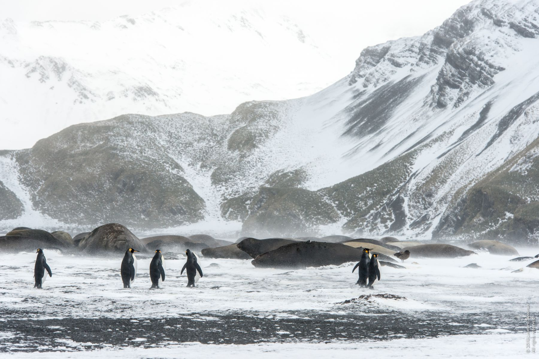 King Penguins and Elephant Seals, Right Whale Bay, South Georgia Islands