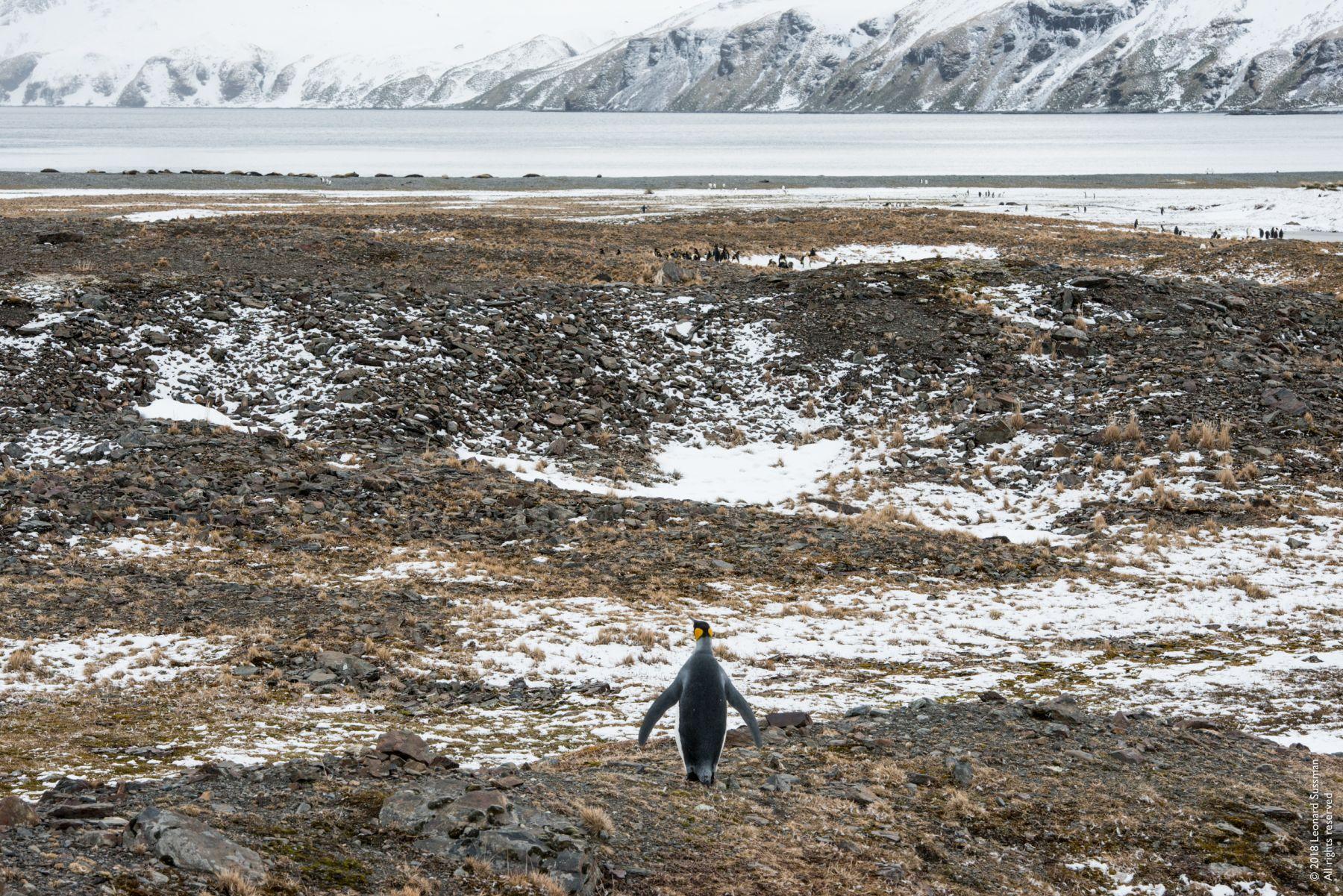 King Penguin Surveying Its World, Fortuna Bay, South Georgia Islands